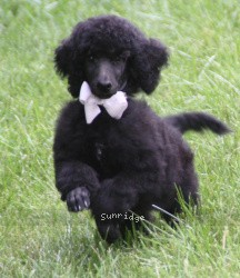 Welton, a blue standard poodle puppy
