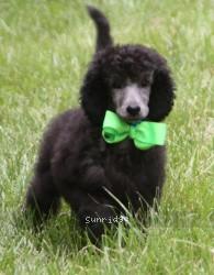 Sylvie, a silver standard poodle puppy