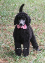 Macie, a silver standard poodle puppy