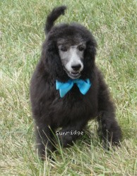 Sunridge Midnight Moonlight Vision, a blue standard poodle puppy