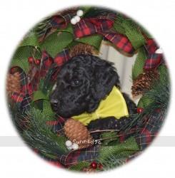 Yogi, a blue standard poodle puppy for sale