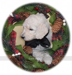 Burt, a white standard poodle puppy for sale