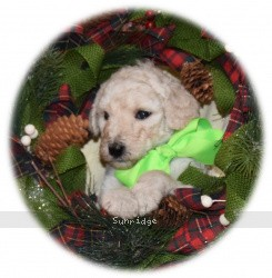 Georgina, a white standard poodle puppy for sale
