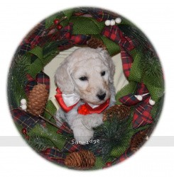 Rielle, a white standard poodle puppy for sale