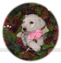 Preita, a white standard poodle puppy for sale