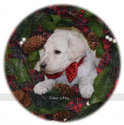 Rupert, a white standard poodle puppy for sale