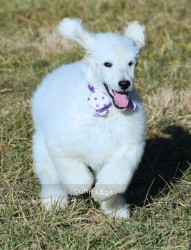 Praline, a cream standard poodle puppy for sale