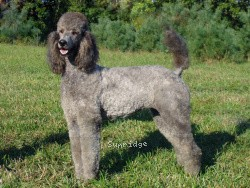 Sunridge Warrior Princess, a silver standard poodle