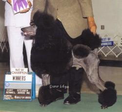 Versailles Color Me Bad, AM CH, a blue male Standard Poodle