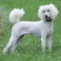 Sunridge Untouchable Twilight Rapture, a white female Standard Poodle