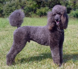 Amandi's Midnight Blue, a blue male Standard Poodle