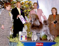 Comets Timber Ridge Moonshdw, Ch, a silver male Standard Poodle