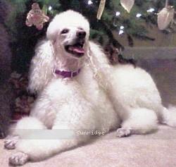Amandi Head In The Clouds, a white female Standard Poodle