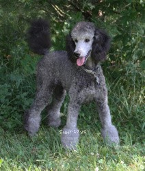 Sunridge Untouchable Twilight Princess, a silver female Standard Poodle