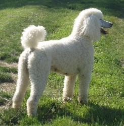 Amandi's Moonbeam, a white standard poodle