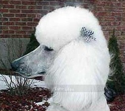 Amandi's Moonbeam, a white female Standard Poodle