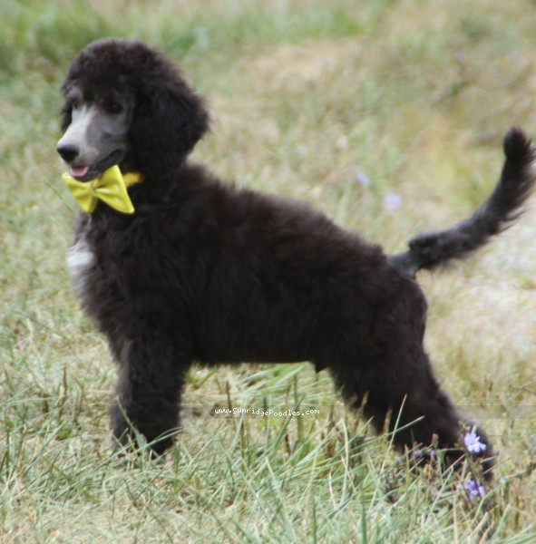 Sunridge Prince in the Midnight Moonlight, a abstract silver standard poodle puppy