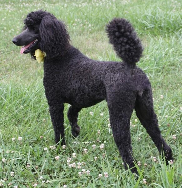 Sunridge Unforgettably Elegant Princess, a blue standard poodle