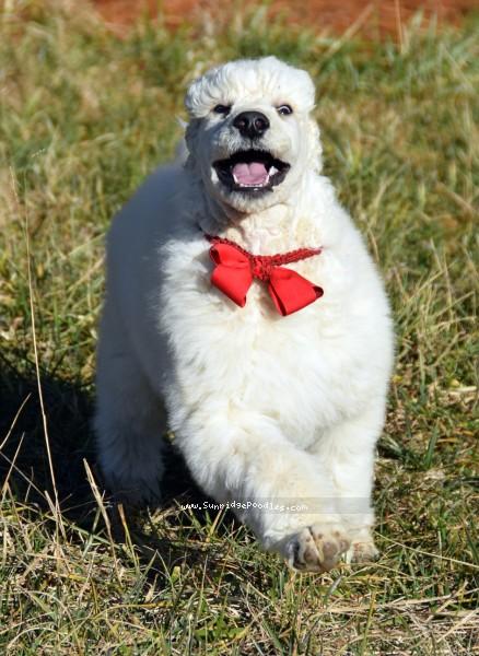 Rock, a white standard poodle