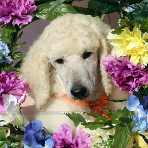 Sunridge Unforgettable Dreamz, a white standard poodle