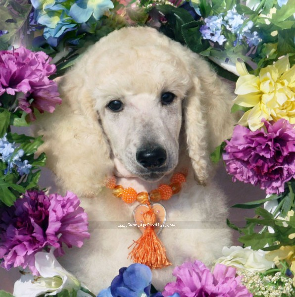 Sunridge Unforgettable Dreamz, a white standard poodle