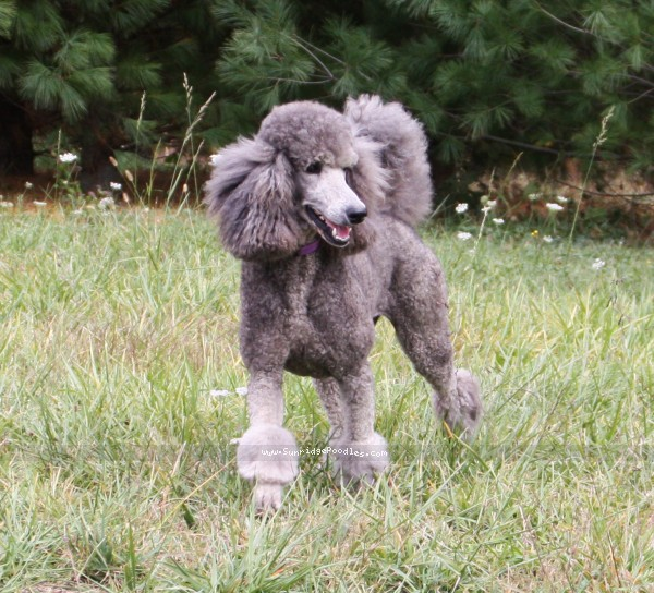 Sunridge Midnight Moondance, a silver standard poodle