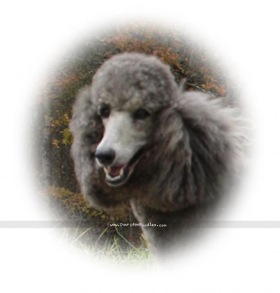 Sunridge Midnight Moondance, a silver standard poodle