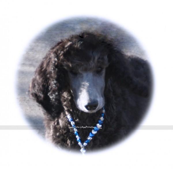 Sunridge Midnight Warrior Prince, a silver standard poodle