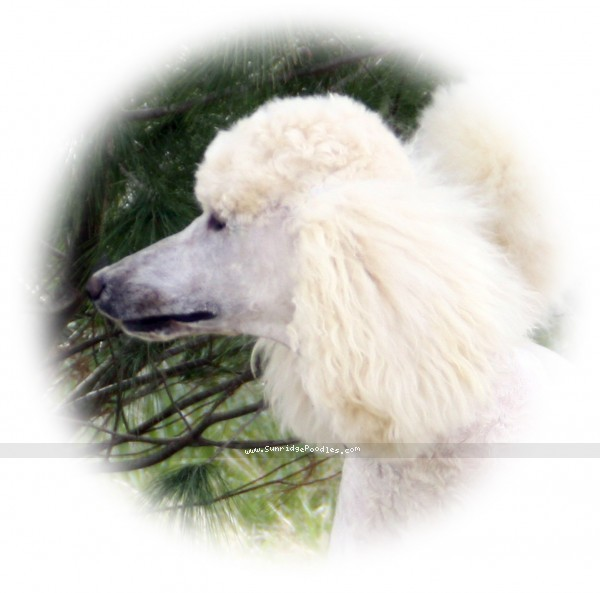 Sunridge Untouchable Elegance, a white standard poodle