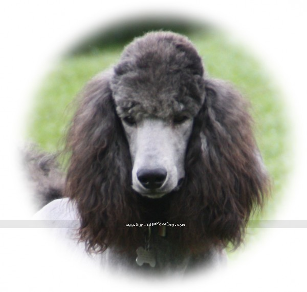 Sunridge Midnight Warrior Prince, a silver standard poodle