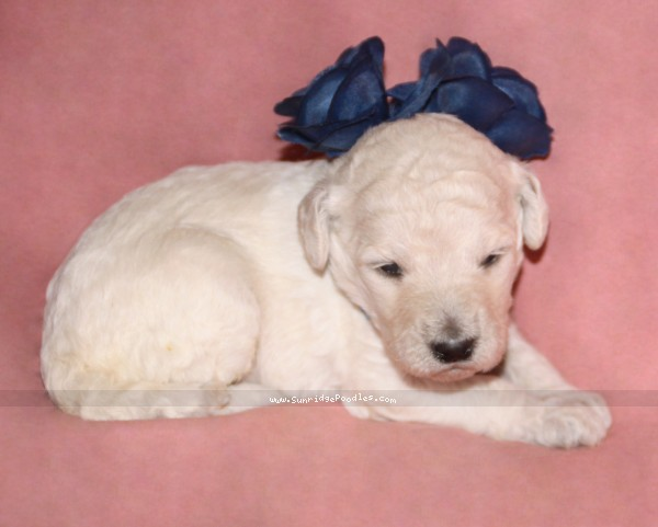 Sunridge Vision In the Moonlight, a white standard poodle