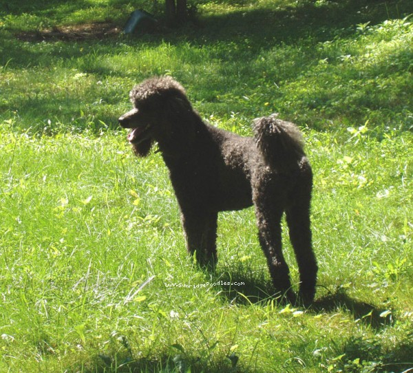 Amandi's Midnight Blue, a blue standard poodle