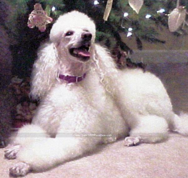 Amandi Head In The Clouds, a white standard poodle
