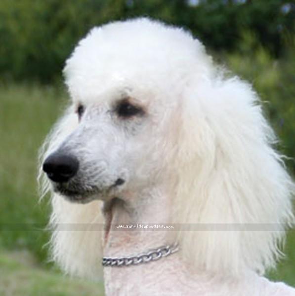 Timber Ridges Untouchable, CH, a white standard poodle