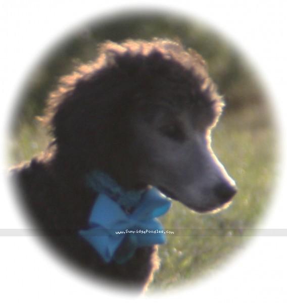 Sunridge Untouchable Twilight Princess, a silver standard poodle