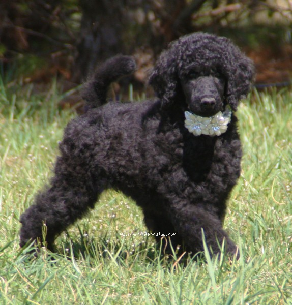 Brienwoods Goddess of the Night, a black standard poodle