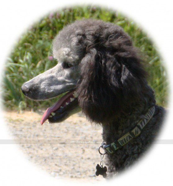 Sunridge Untouchable Twilight Princess, a silver standard poodle