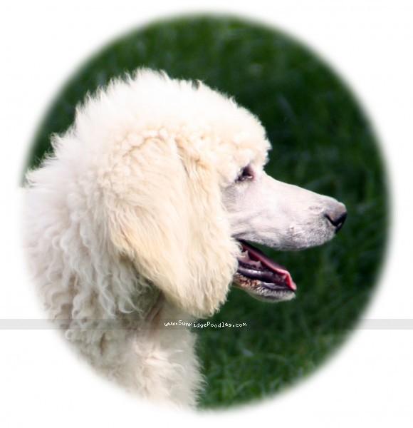 Prairieland Rock Me Babe, a white standard poodle
