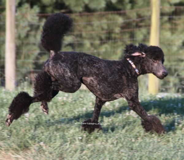 Sunridge Midnight Blue, a blue standard poodle