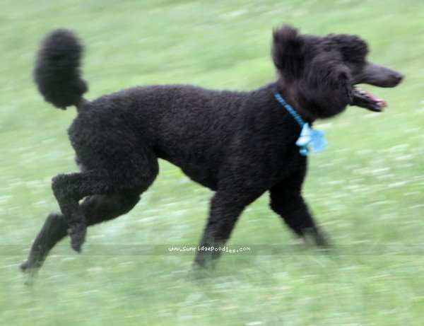 Sunridge Midnight Blue, a blue standard poodle